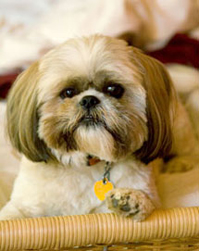 Oliver the ShihTzu Emagination designs chief of security